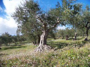 Calendario Trattamenti Olivo Puglia.Nella Manovra Prevista L Eradicazione Degli Olivi Secolari